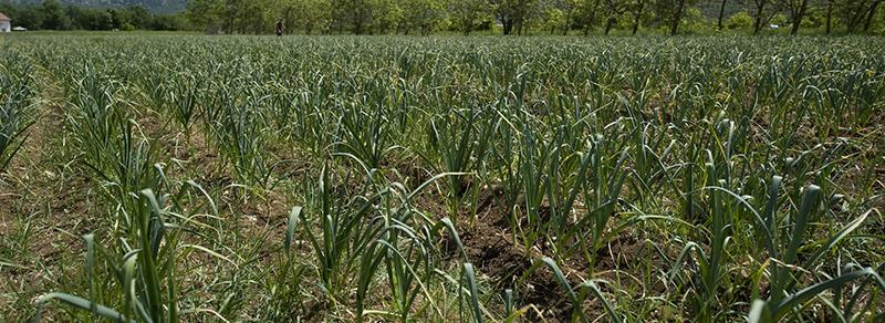 campo coltivato ad aglio rosso